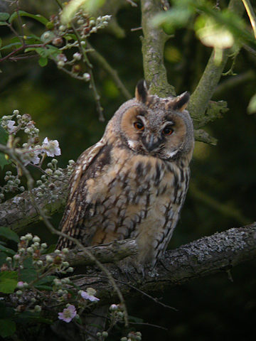 File:Long-Eared Owl WTCP 05-07-07 POST BREEDING ADULT.jpg