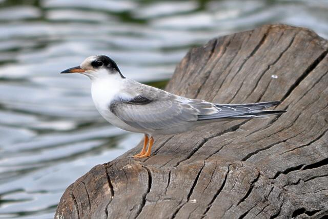 File:Juvenile Common Tern at Rushmere, Wimbledon Common, 7th Aug..JPG