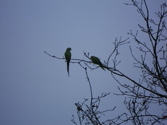 File:Ring-necked Parakeets.JPG
