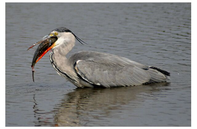 File:Grey Heron at Wimbledon Common.JPG