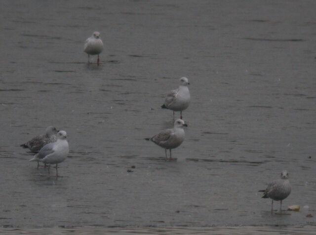 File:Colour Ringed Common Gull + Leucistic Gull.jpg