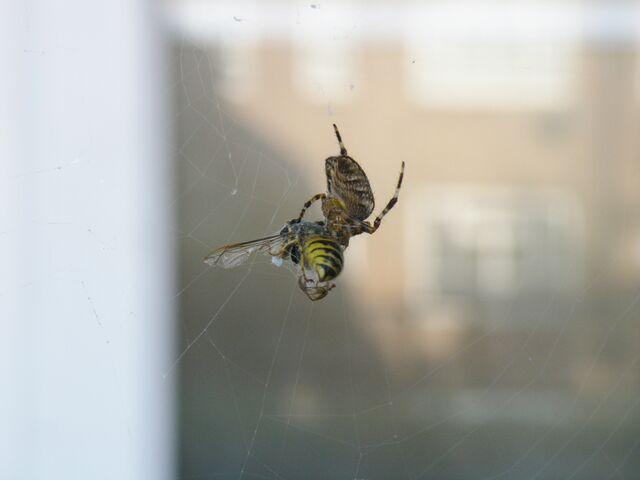 File:Spider eat wasp - 30th SEPTEMBER 2011 011.JPG