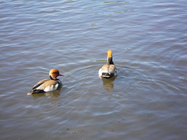 File:Red-crested Pochards.JPG
