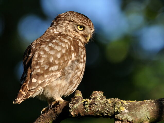File:Little Owl.JPG
