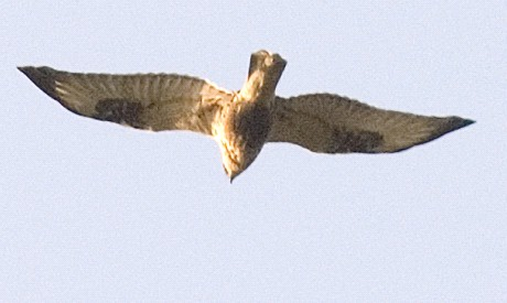 File:Rough-legged buzzard.jpg