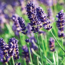 File:Lavenderplant.jpg