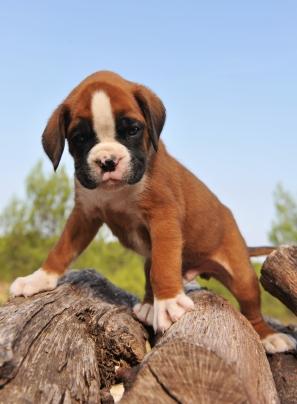 File:Boxer pup loc.jpg