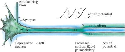 File:Axon.jpg
