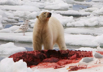 File:Polar-bear.jpg