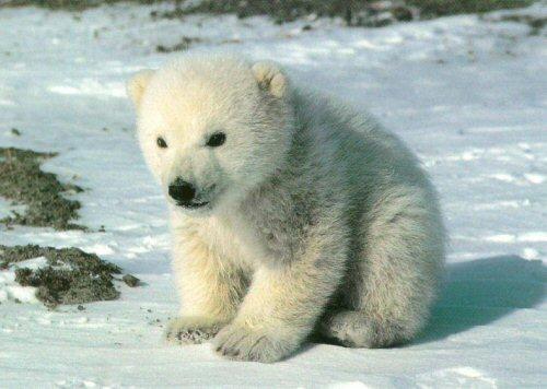File:Kadaj polar bear.jpg