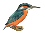 084011 P002 Kingfisher
