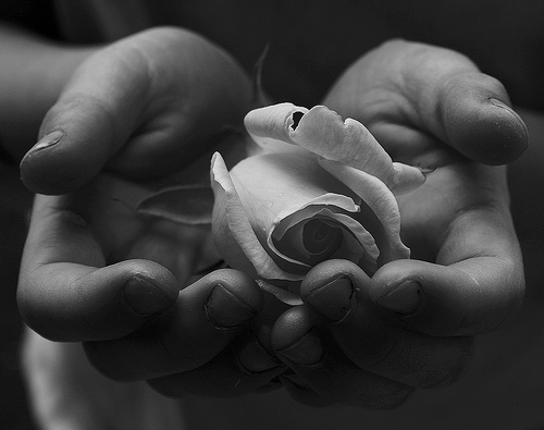 File:Child's Hands Holding White Rose for Peace Free Creative Commons.jpg