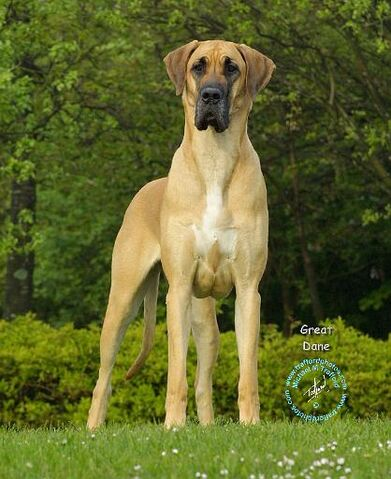 File:Great Dane 9T088D-011.JPG