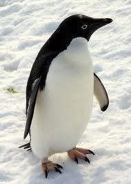 File:Adeline penguins-2.jpg