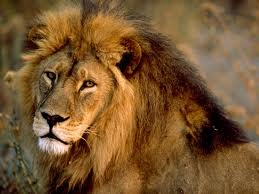 File:African lion.jpg