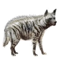 Huge item stripedhyena 01