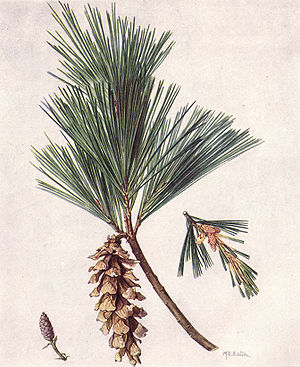 M white pine cone and tassel