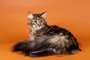 File:M maine coon.jpg