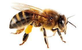 File:M honeybee.jpg