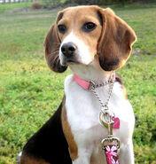 BeagleBayleePurebredDogs8Months2