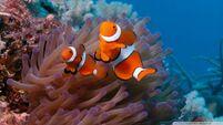 Clownfish and sea anemone-wallpaper-960x540