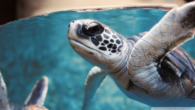 Green sea turtle underwater-wallpaper-960x540