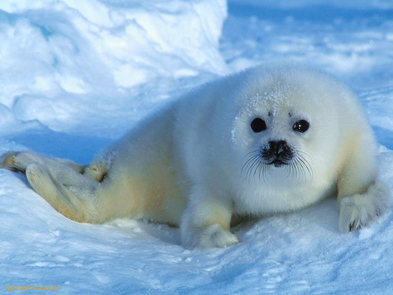 related pictures seal arctic - photo #22