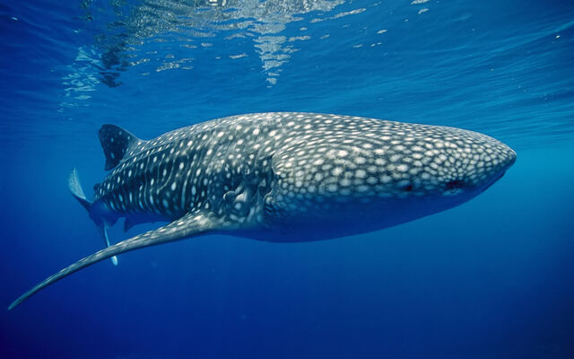 File:Whale shark underwater wallpapers.jpg