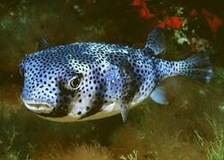SpottedBurrfish