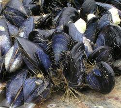 Mussels-tethered-Mytilus-trossulus