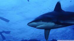 White tip shark 2-wallpaper-960x540