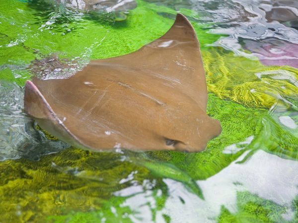 File:Rays07-cow-nose-ray.jpg