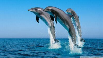 Bottlenose dolphins tursiops truncatus-wallpaper-960x540