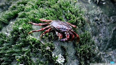 Sea crab-wallpaper-960x540
