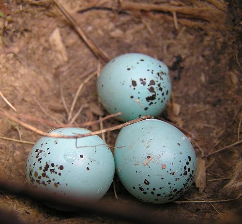 File:Howard Egg.jpg