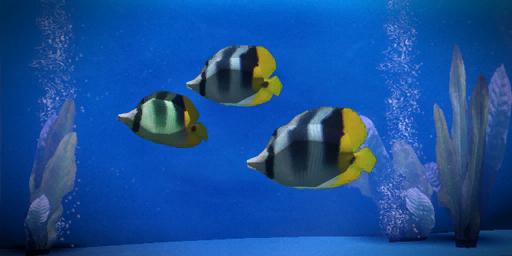 File:Striped Dartfish.png