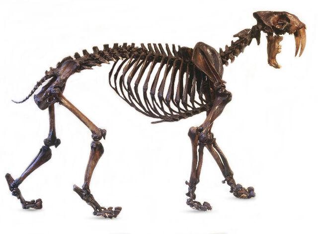 File:Saber Tooth Tiger Fossil.jpg