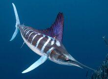 Striped-Marlin
