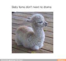 Non-drama llama
