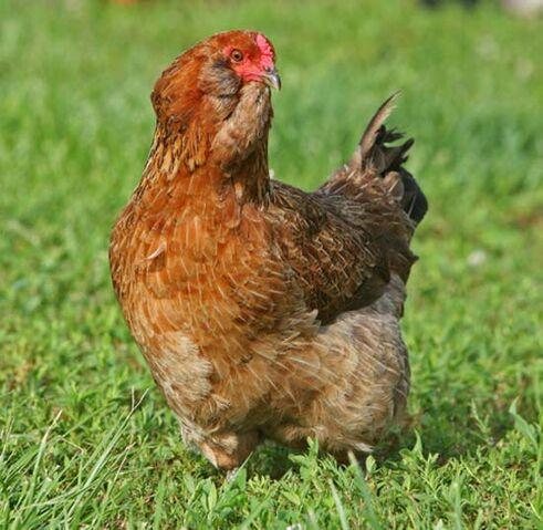 File:Chickens2.jpg