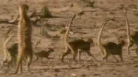 Meerkats United - Part 1