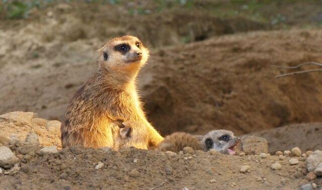 File:Meerkat with pups.jpg