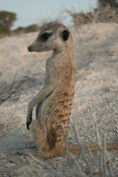 Young Baobab Meerkat