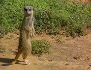 Meerkats Divided - Browneyes Addo