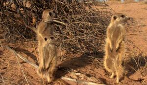 Eleusine and unknown meerkats
