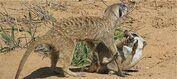 Baobab meerkats