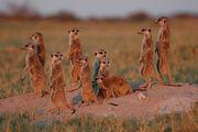 Wild Meerkats