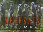 Meerkats Divided
