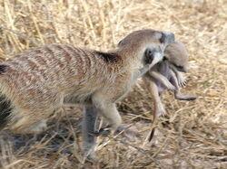 Nomads meerkats