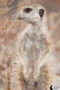 Orinoco Whiskers(VWM101)
